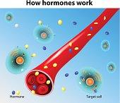 Hormones work. Vector