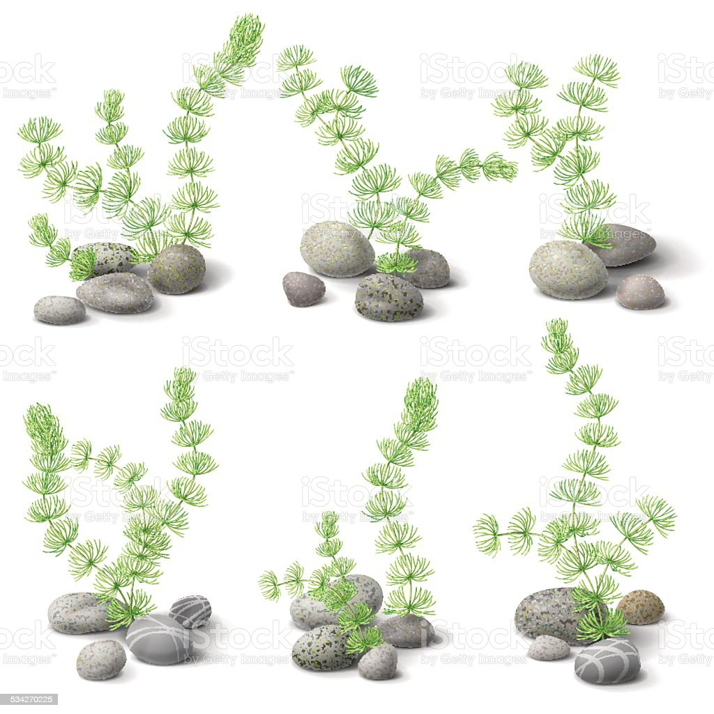Hornwort and pebbles vector art illustration