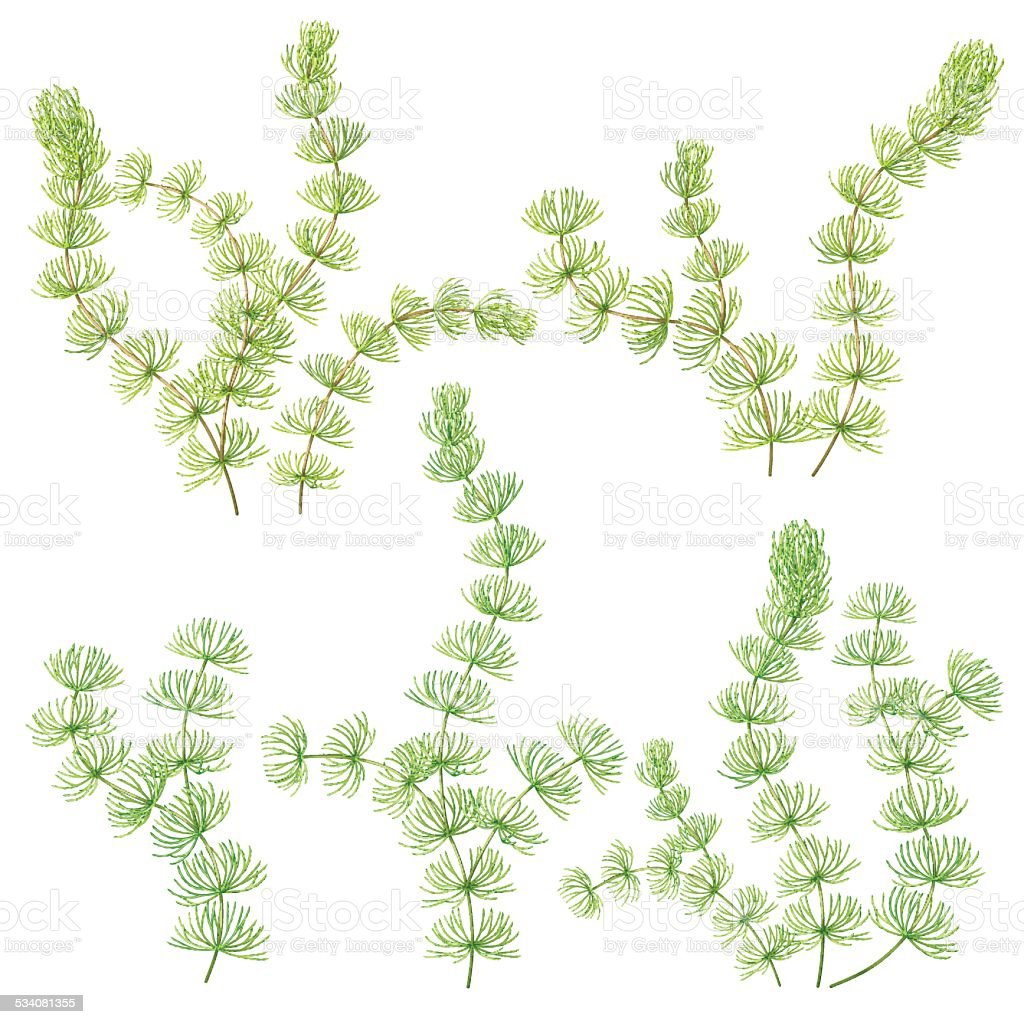 Hornwort set vector art illustration