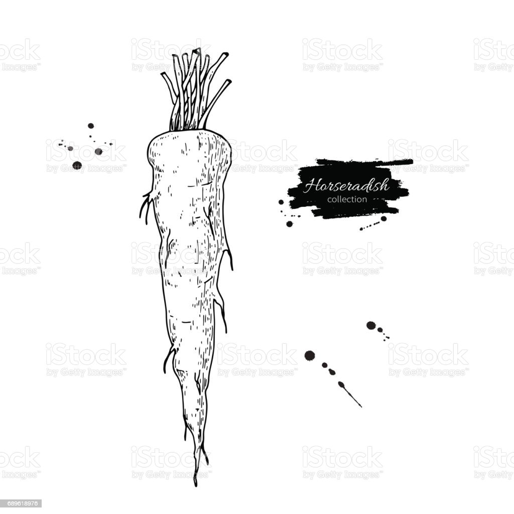 Horseradish hand drawn vector illustration. Isolated Vegetable engraved style object. vector art illustration