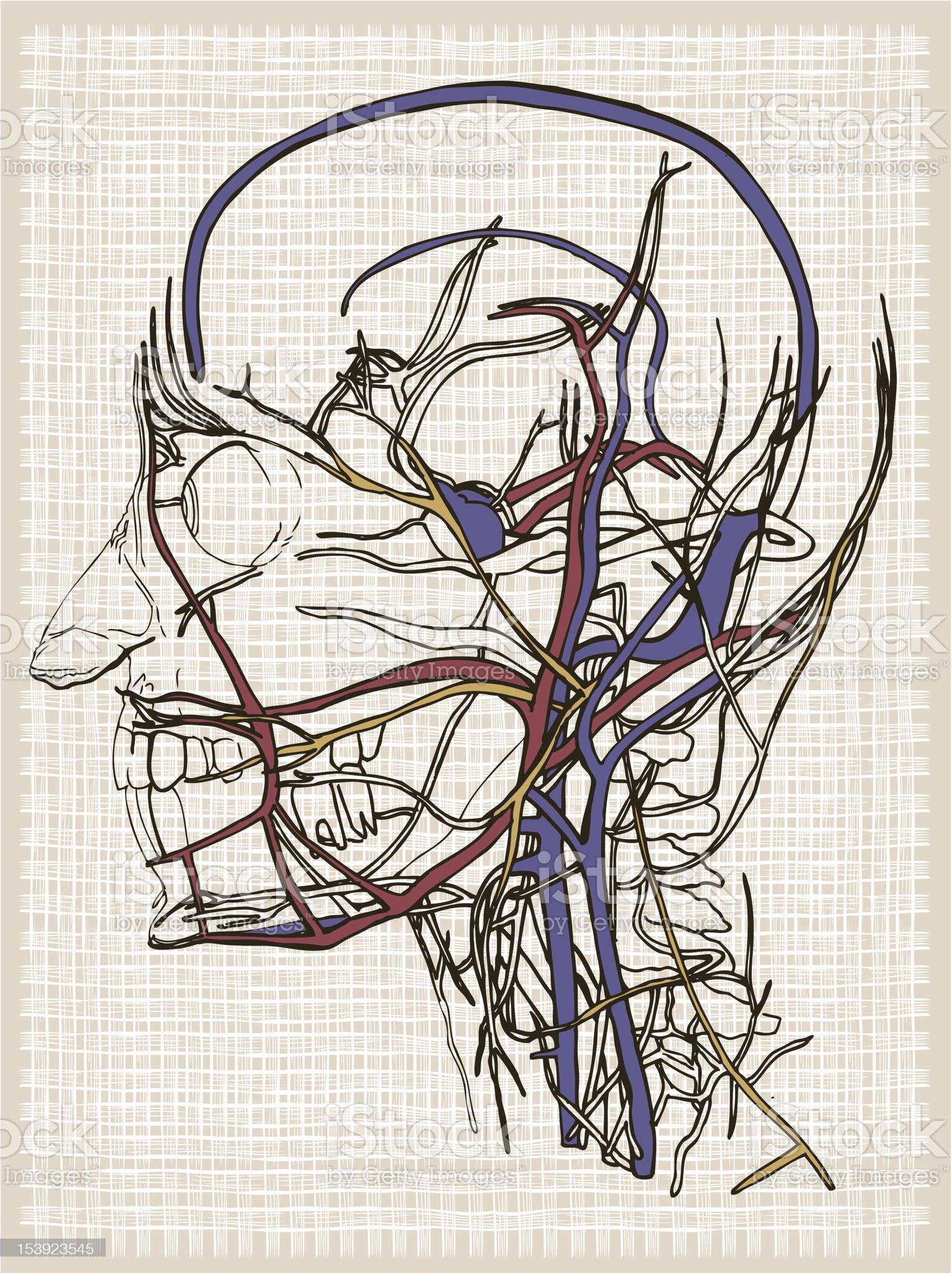 Human anatomy head. Drawing royalty-free stock vector art