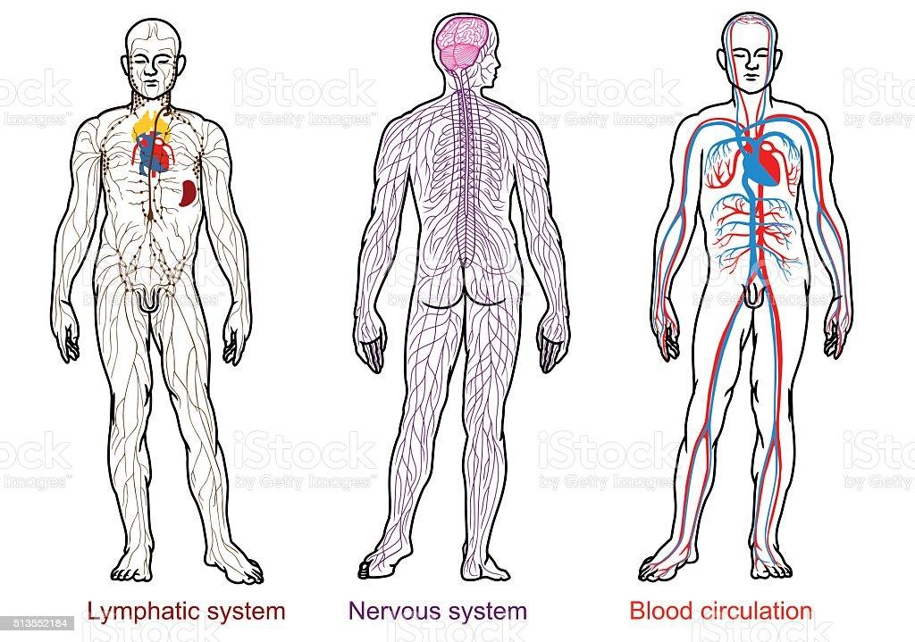 human anatomy nervous,blood,lymphatic system vector art illustration