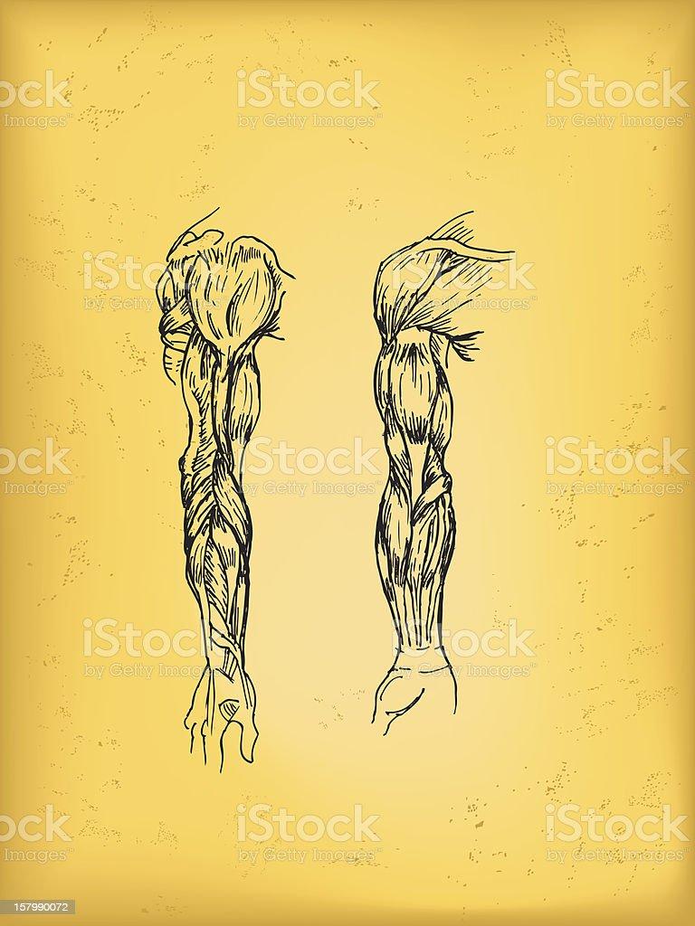 Human arm anatomy drawing royalty-free stock vector art