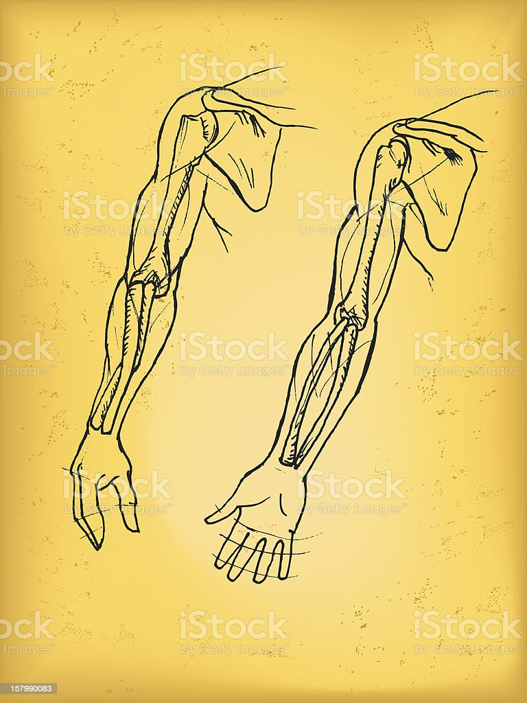 Human Arm vector art illustration