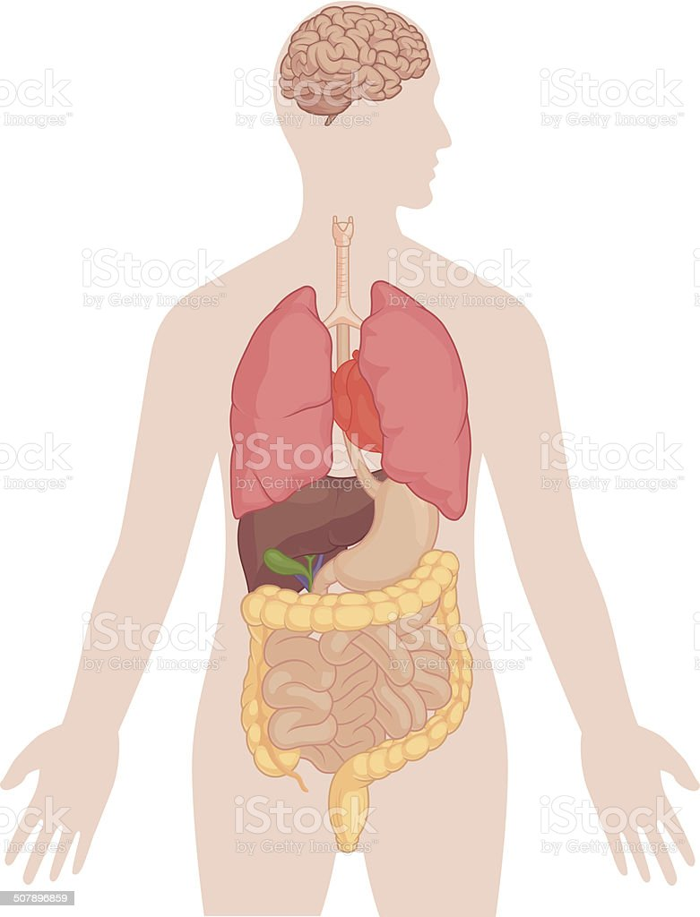Human Body Anatomy - Brain, Lungs, Heart, Liver, Intestines vector art illustration