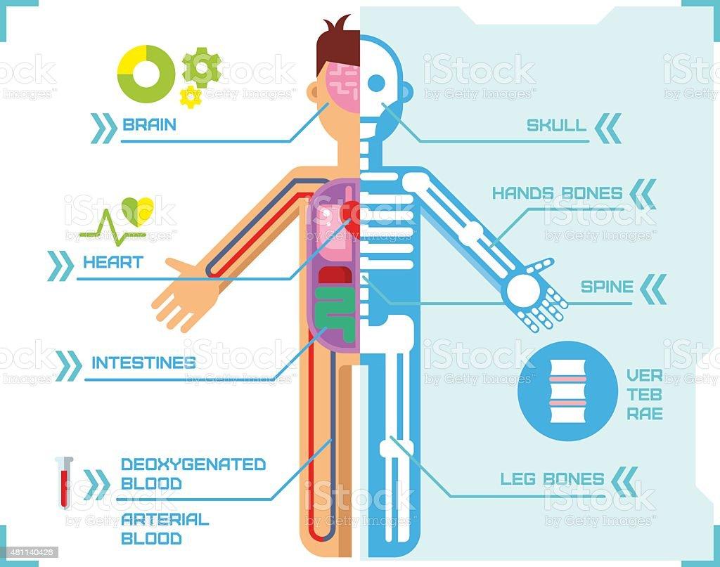 Human Body Anatomy Infographic Flat Design on Blue Background vector art illustration