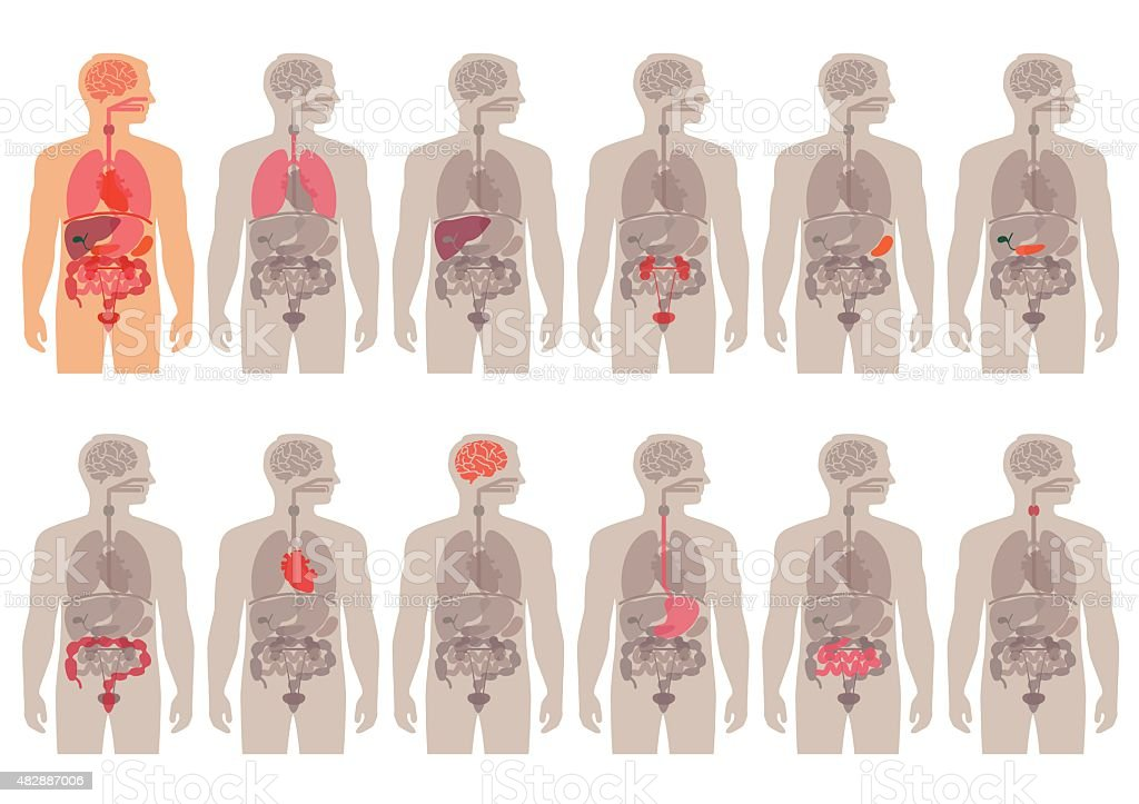 human body anatomy vector art illustration