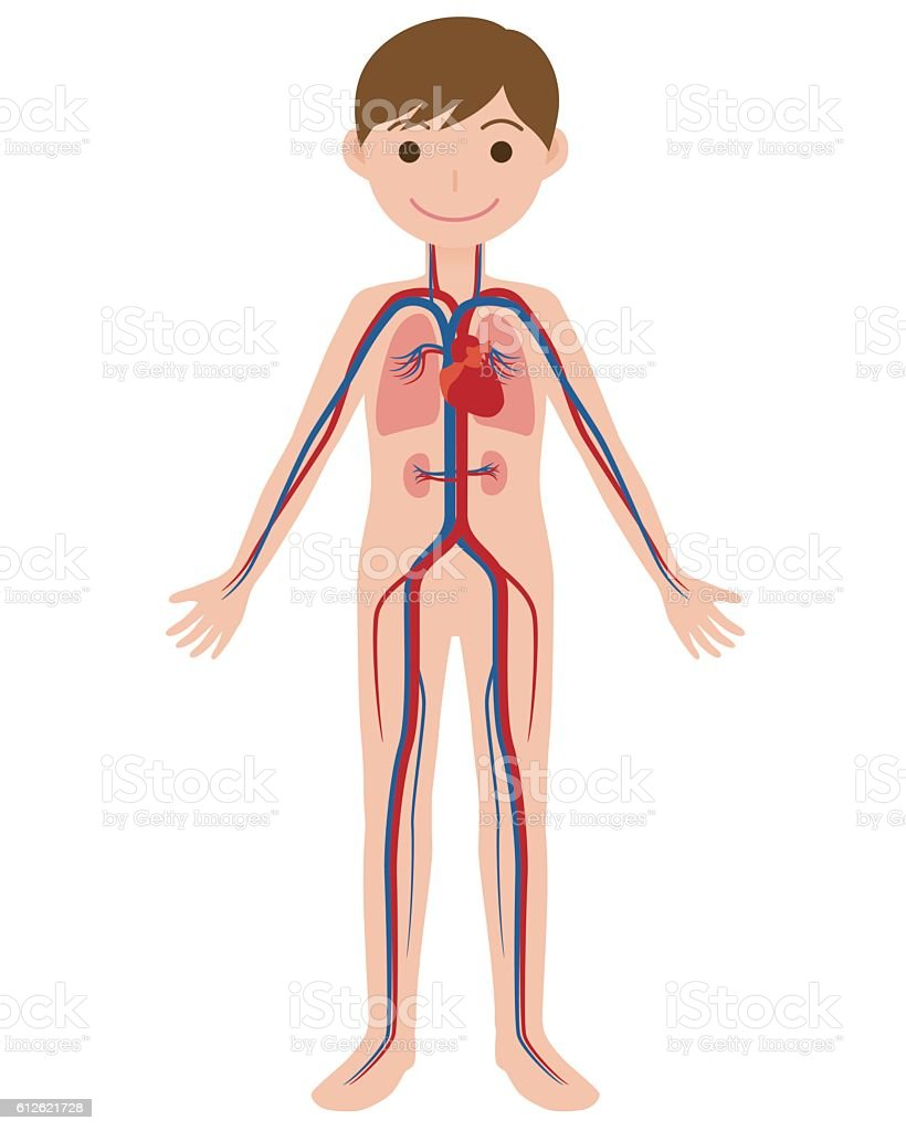 human body and circulatory system, anatomical chart vector art illustration