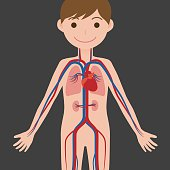 human body and circulatory system, anatomical chart