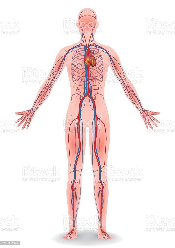 human body and circulatory system vector diagram stock vector art, Muscles