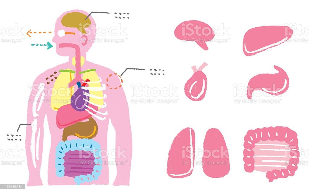 human body diagram stock vector art 479186234 | istock, Human body