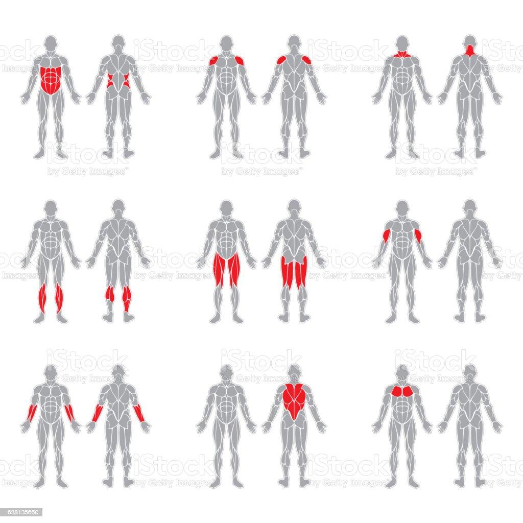 Human body muscles vector art illustration