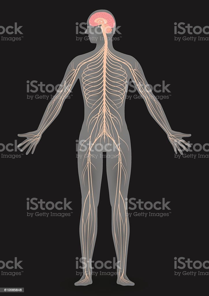 human body silhouette and nervous system vector art illustration