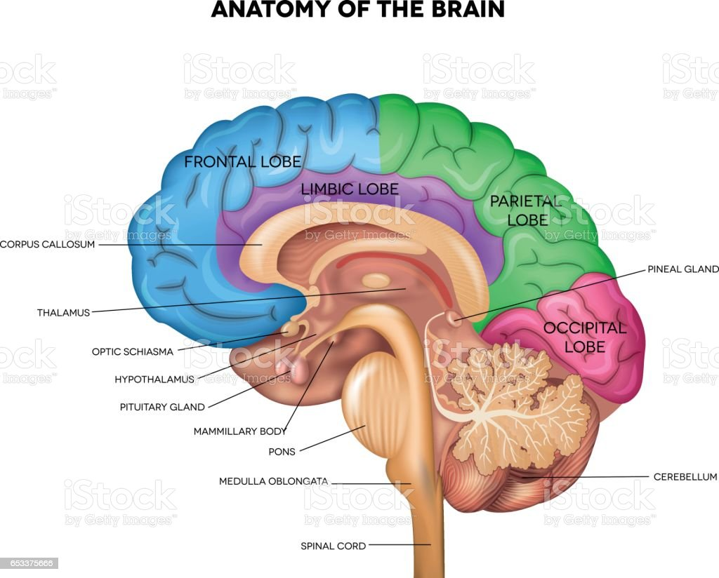 Human brain anatomy video