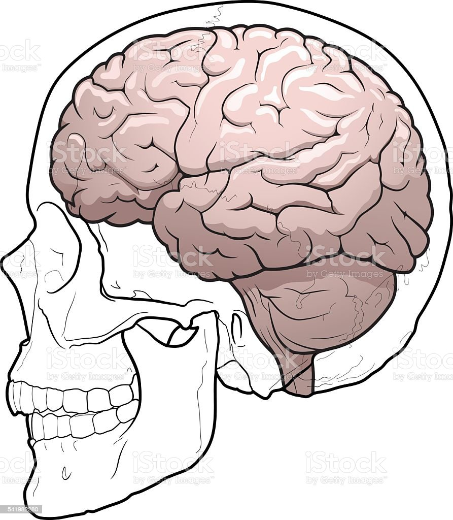 Anatomy of skull and brain