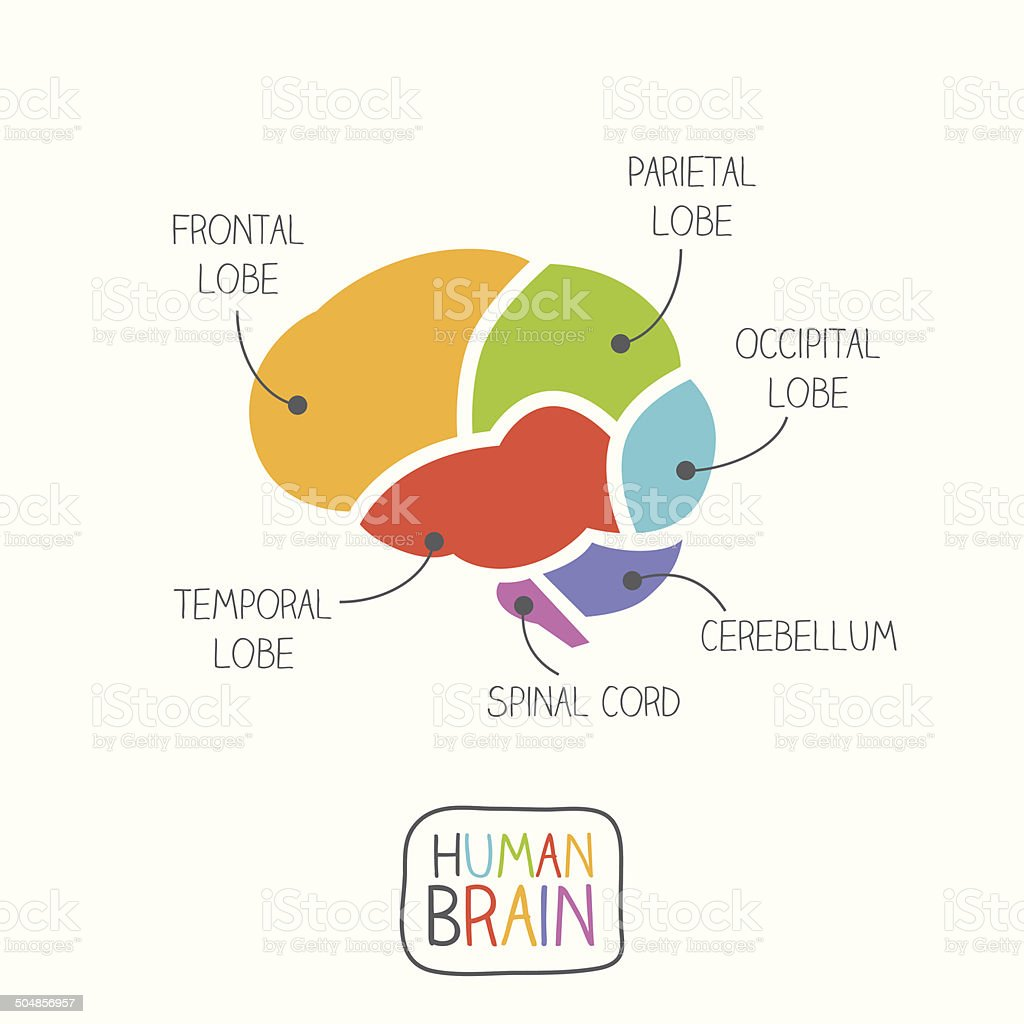 Human Brain Section Illustration vector art illustration