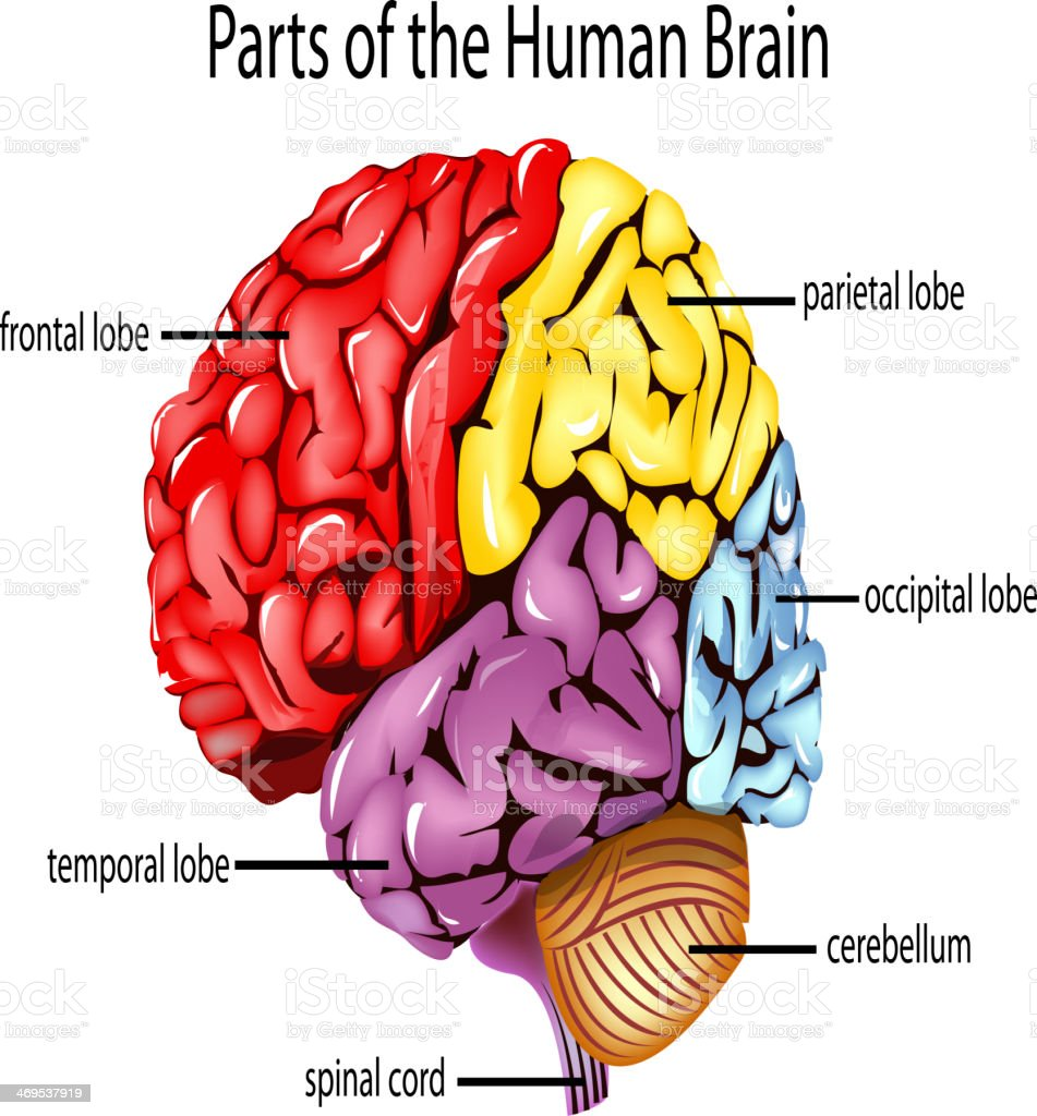 human brain stock vector art 469537919 | istock, Muscles