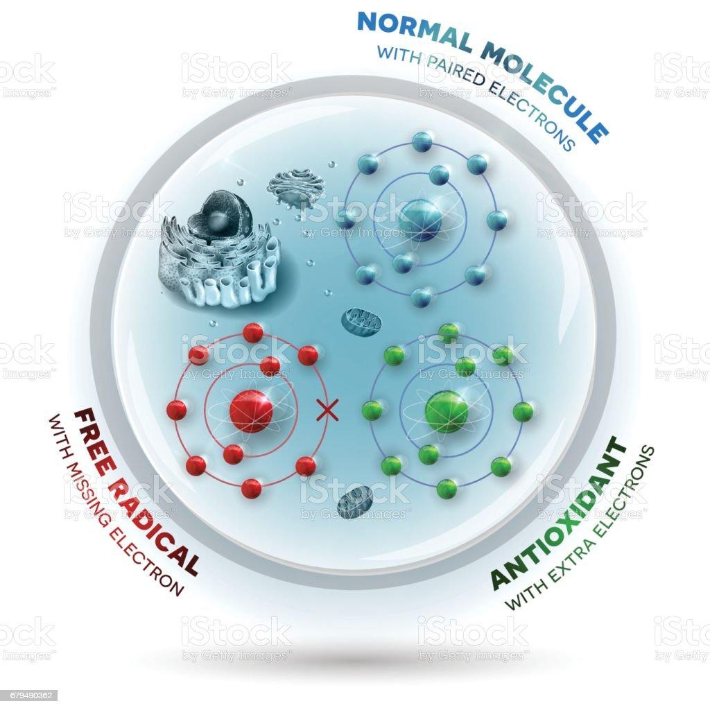Human cell and free radical, andtioxidant and normal molecules vector art illustration