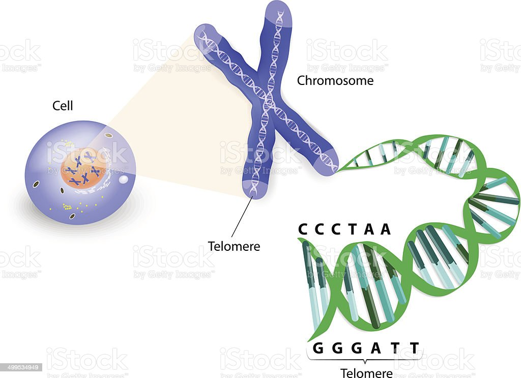 Human cell, chromosome and telomere vector art illustration