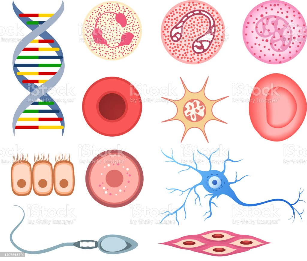 Human Cells DNA bone cell neuron neural nerve sperm ovum royalty-free stock vector art