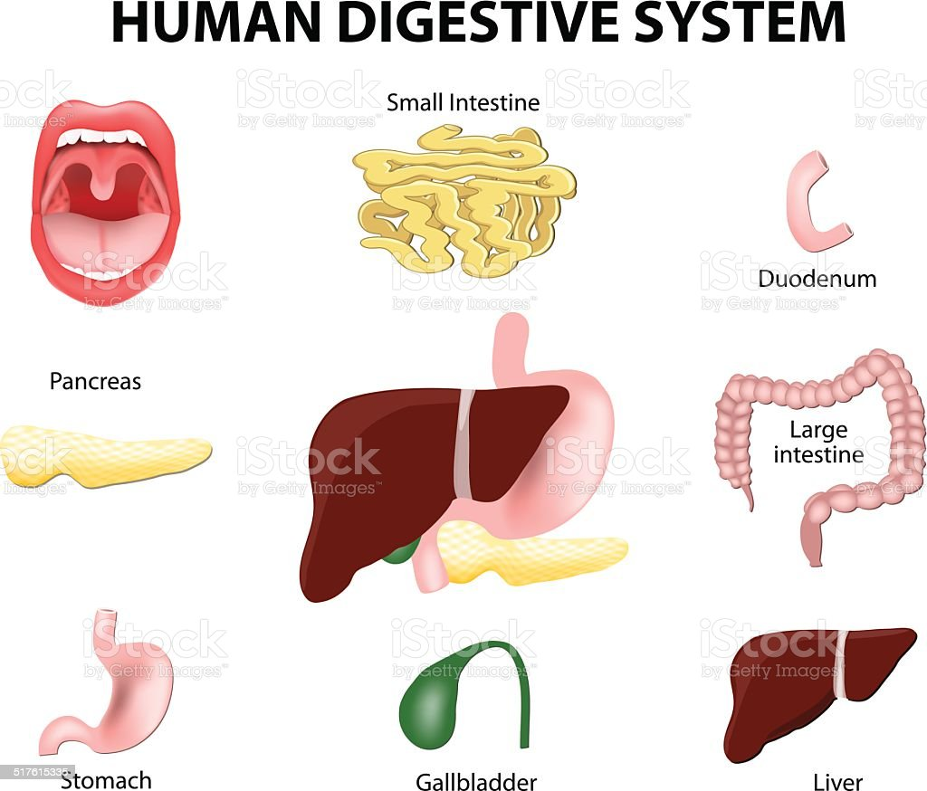 Human Digestive System. Set vector art illustration
