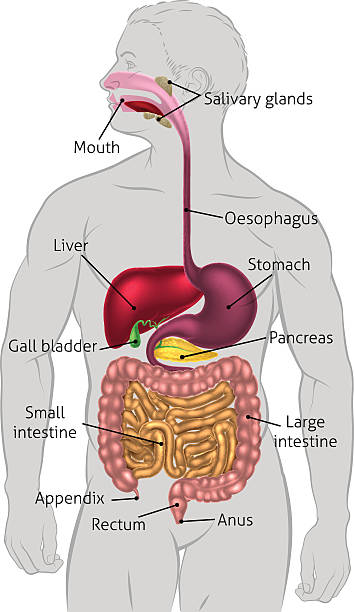 human digestive system clip art, vector images & illustrations, Human Body