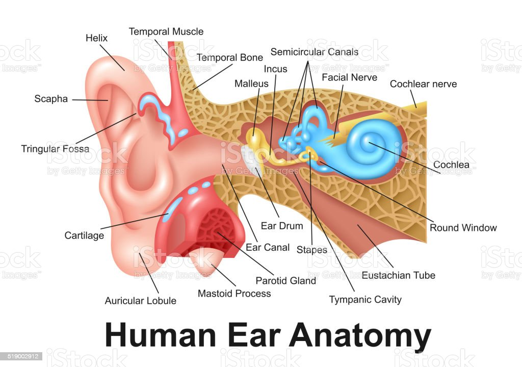 Human Ear Detailed Anatomy vector art illustration