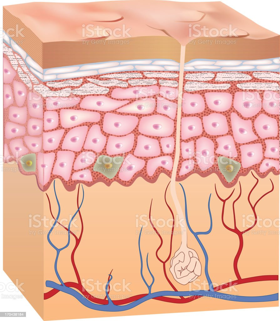 Human epidermis skin structure. 3D. royalty-free stock vector art
