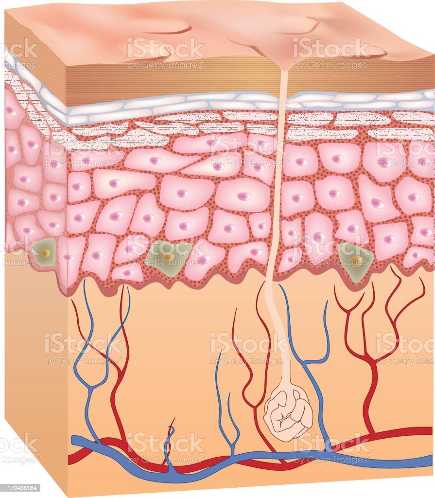 Human epidermis skin structure. 3D. vector art illustration