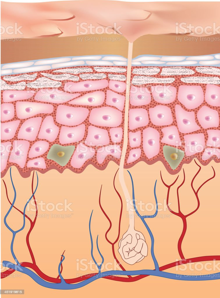 Human epidermis skin structure. royalty-free stock vector art