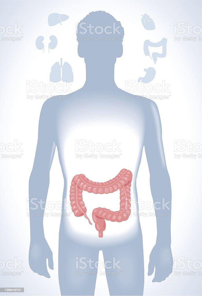 human esophagus royalty-free stock vector art