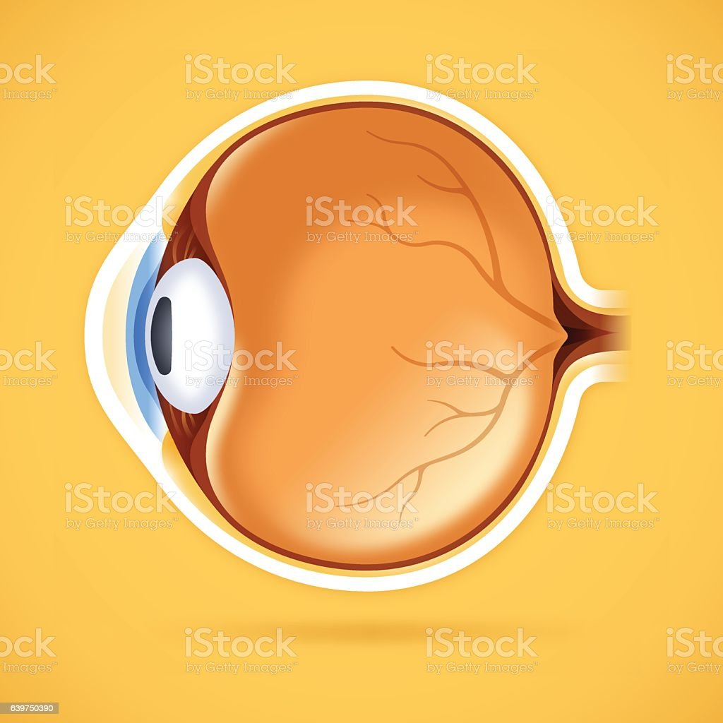 Human Eye Anatomical Structure vector art illustration