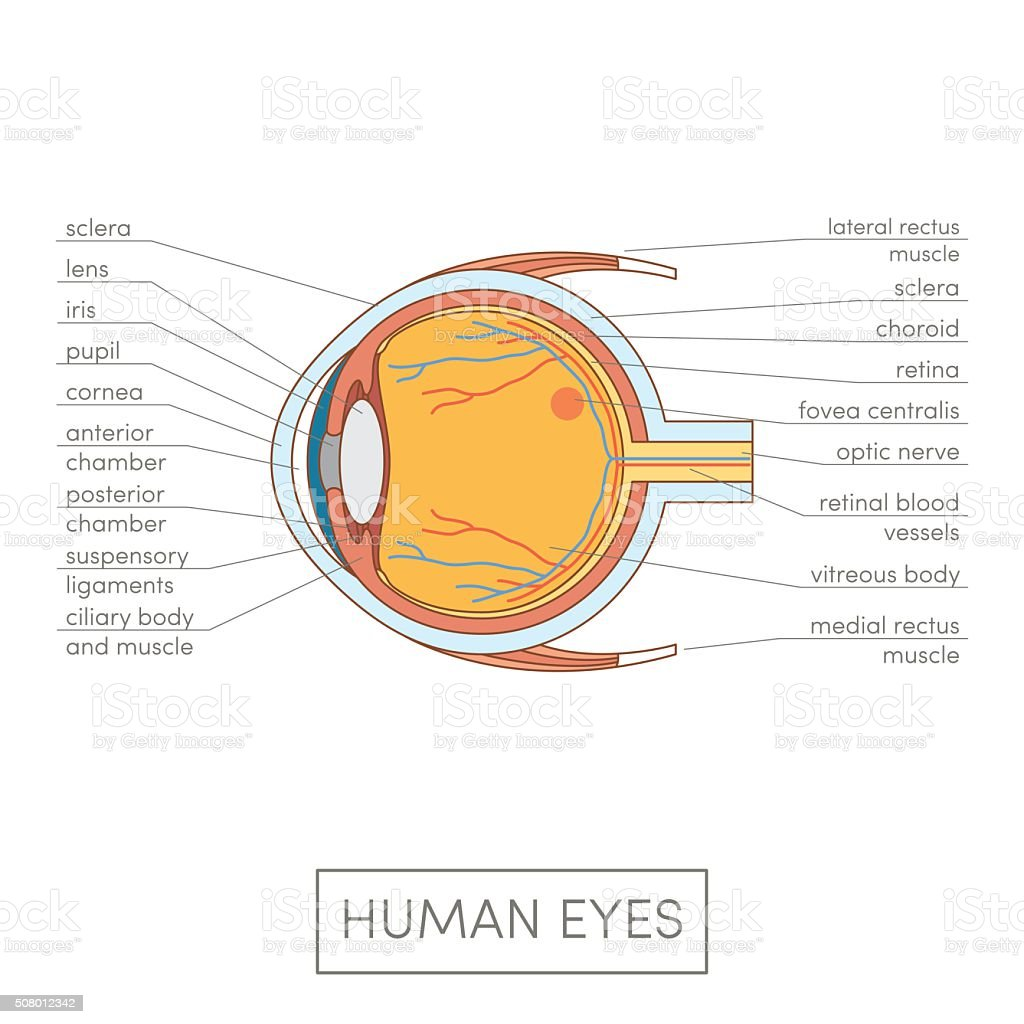 Human eye anatomy vector art illustration