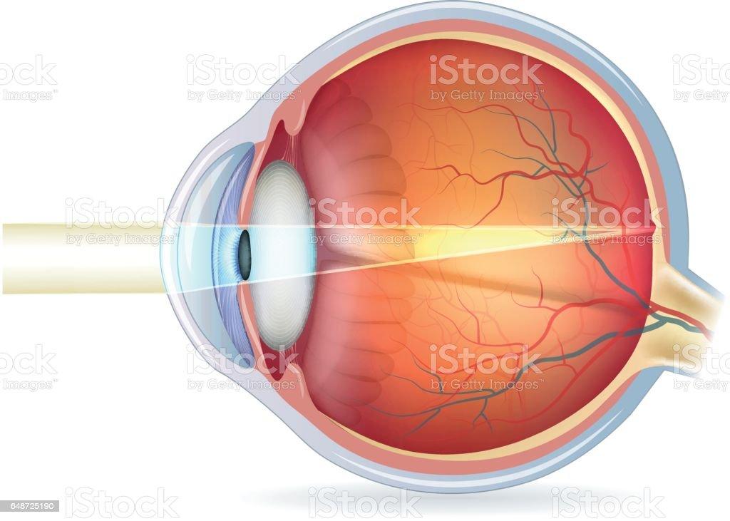 Human eye cross section, normal vision vector art illustration