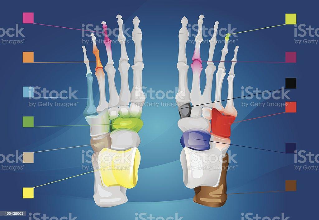 Human foot anatomy vector art illustration