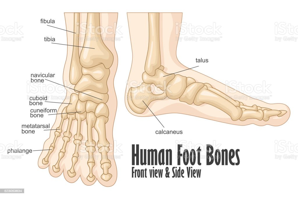 Human foot bones front and side view anatomy vector art illustration