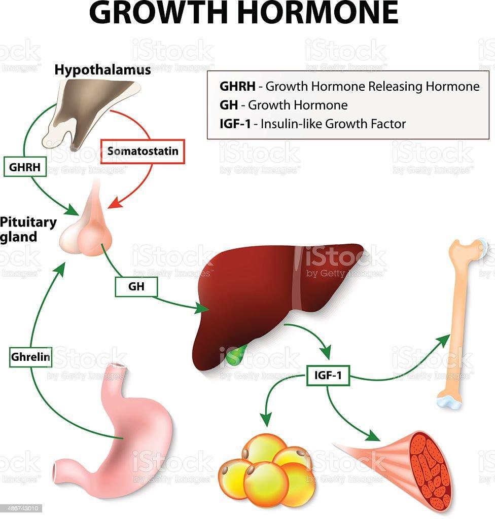 Human Growth Hormone vector art illustration