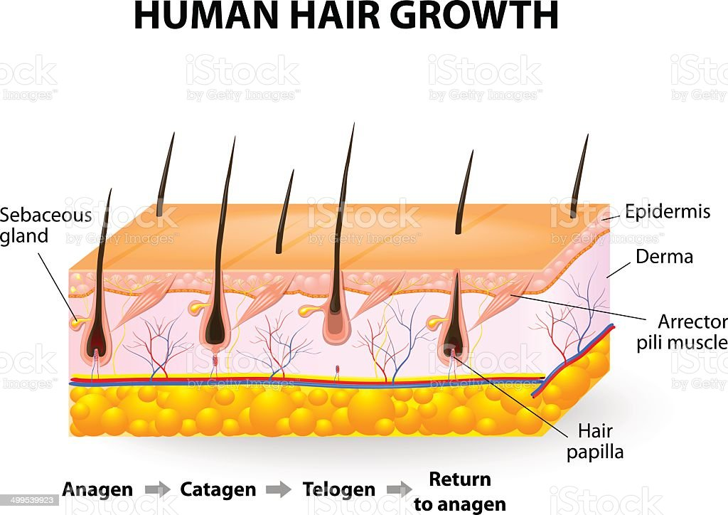 Human hair growth vector art illustration