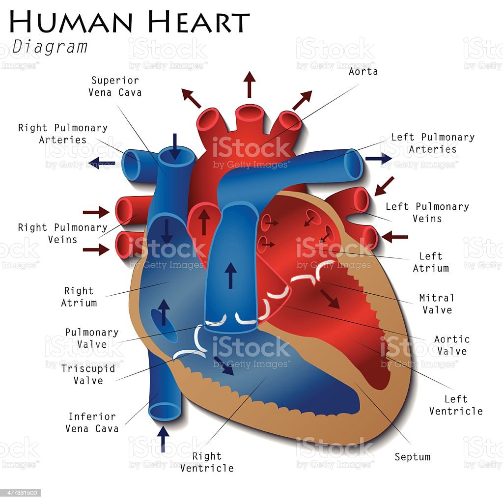 Human Heart Diagram vector art illustration