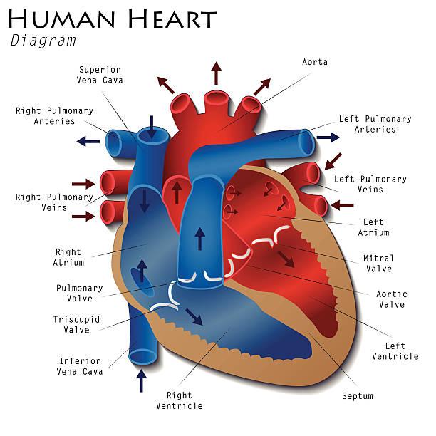 Human Heart Clip Art, Vector Images & Illustrations - iStock
