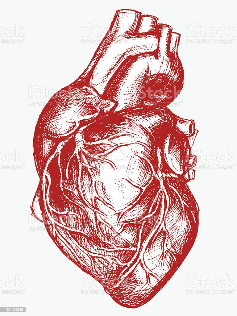 Human Heart Drawing line work vector art illustration