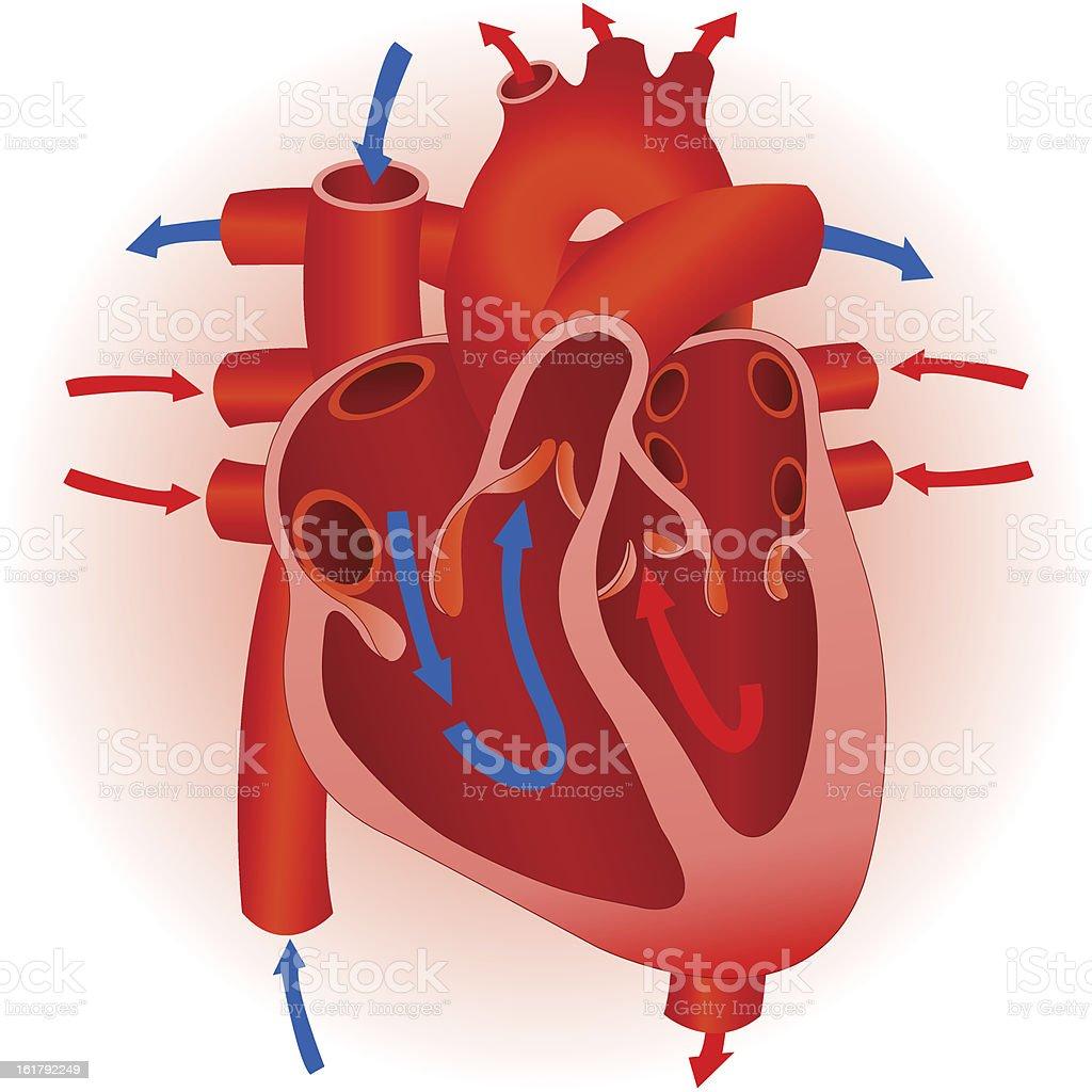 Human heart. vector art illustration