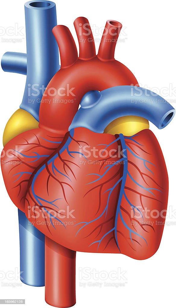 Human heart vector art illustration