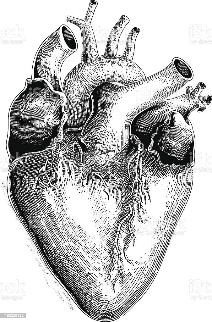 Human heart (vector) vector art illustration