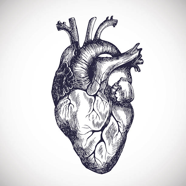 human heart clip art, vector images & illustrations - istock, Muscles