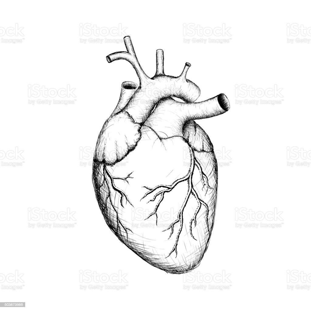 Human heart. vector art illustration