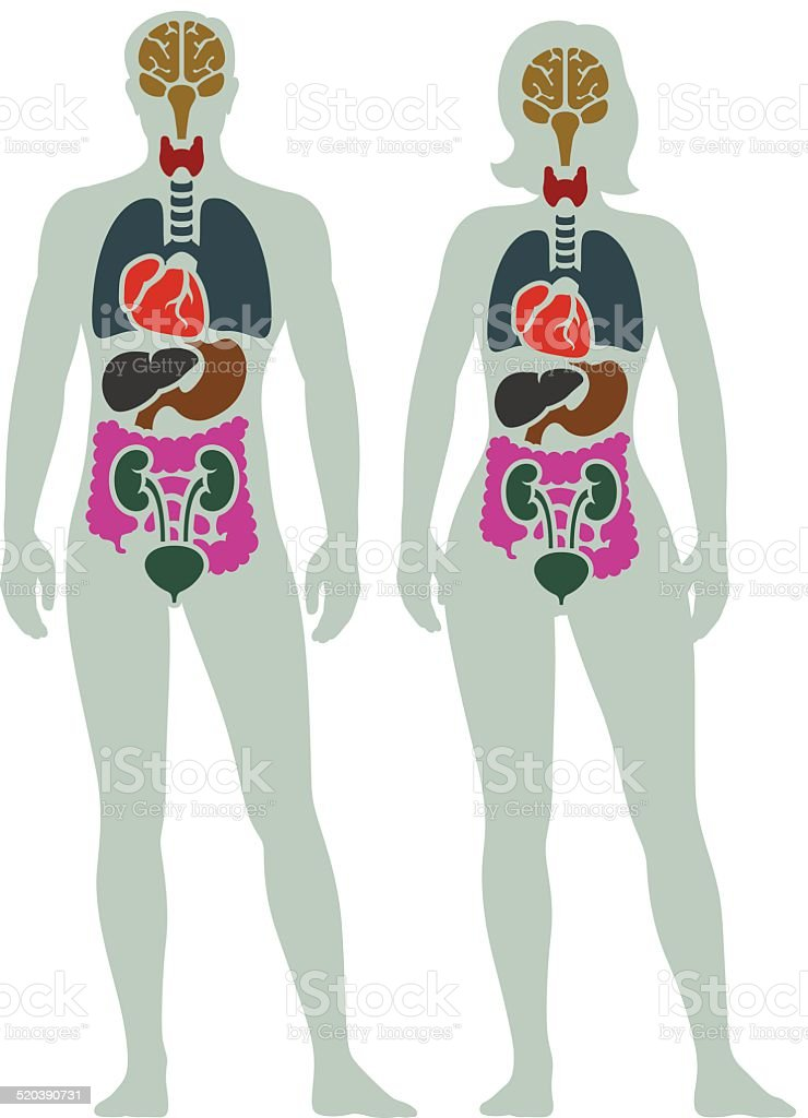 Human Internal Organ Diagram vector art illustration