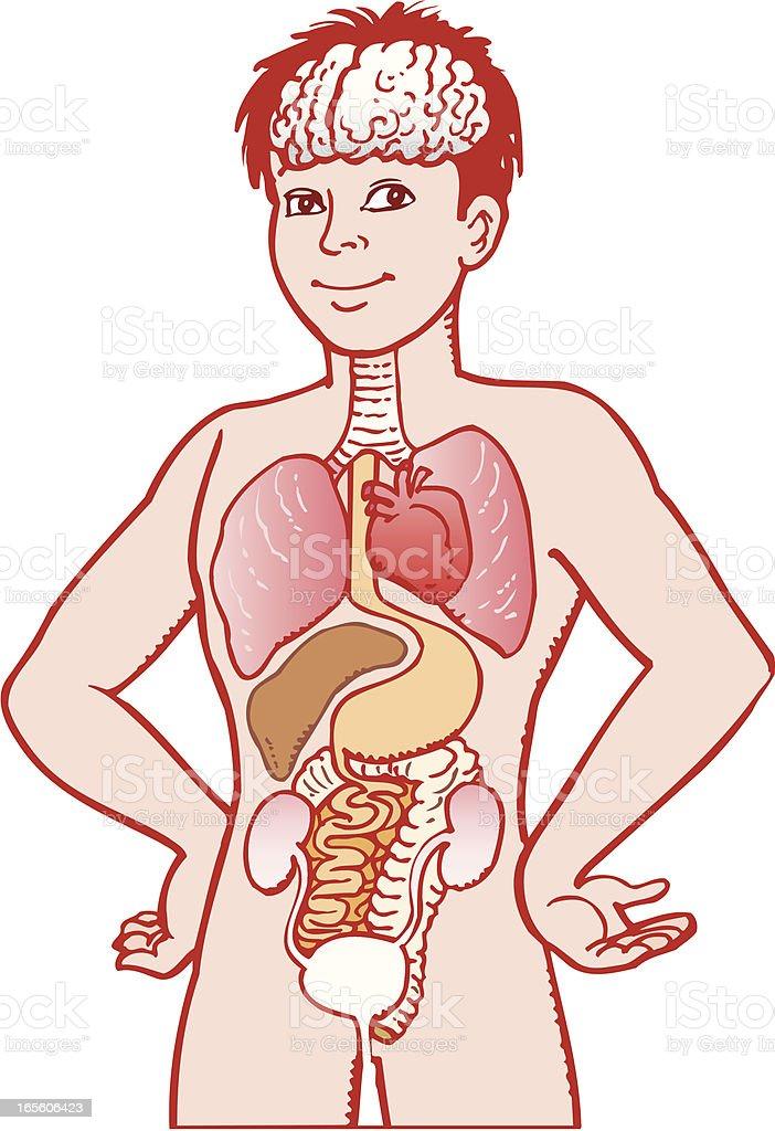 Human intestines royalty-free stock vector art