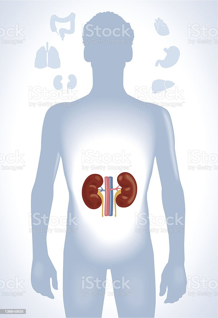 human kidneys royalty-free stock vector art