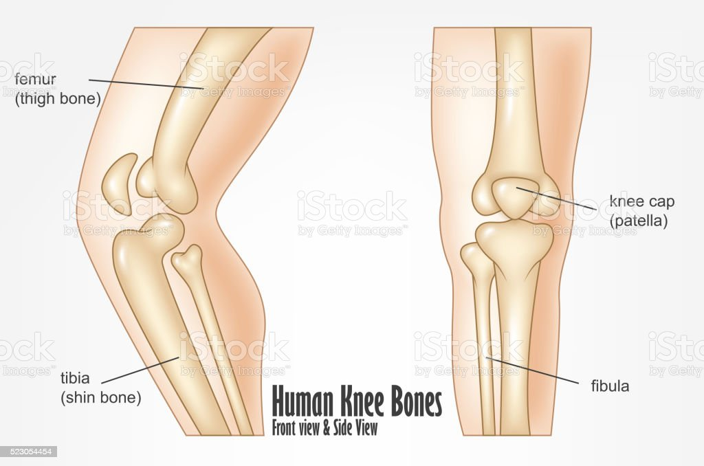 Human knee bones front and side view anatomy vector art illustration